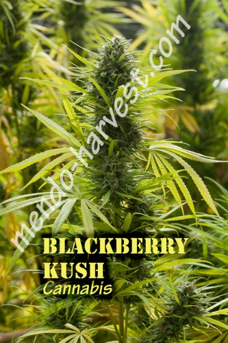 BlackberryKush-nameWM.jpg