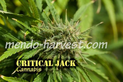 CriticalJack-nameWM.jpg