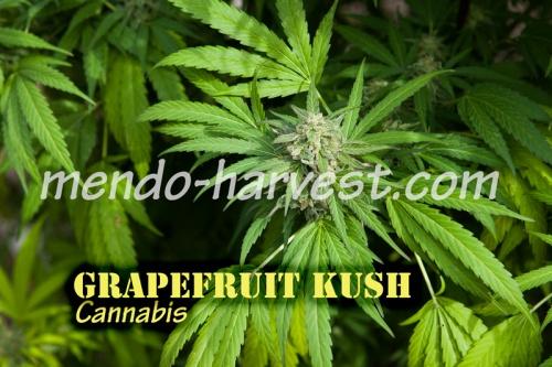 GrapefruitKush-nameWM.jpg