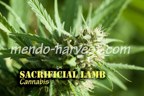 SacrificialLamb-nameWM.jpg