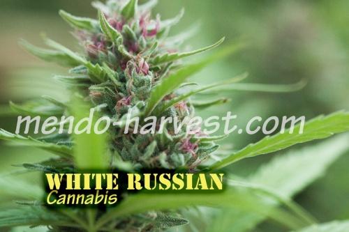 WhiteRussian-nameWM.jpg